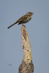 6/1/16... (turtlehawk) Tags: nature birds outdoors wildlife osprey bethanybeach bluecoast