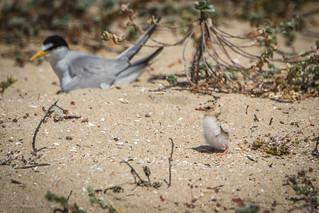 The hatching has begun. California Least Tern
