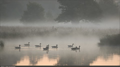 The Flotilla (Rob Millenaar) Tags: morning mist holland landscape geese scenery nationalparkdwingelderveld