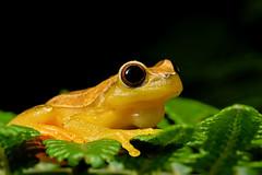 Dendropsophus elegans (Techuser) Tags: macro nature animal rainforest close amphibian treefrog raynox canon1855is parquedozizo