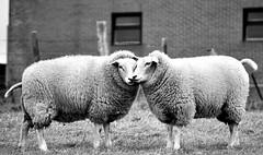 Let's cuddle...... (SpitMcGee) Tags: bw holland sheep farm verliebt cuddle sw bauernhof inlove limburg niederlande schafe schmusen oudvalkenburg
