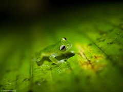 Frogs (katrin glaesmann) Tags: november green animal costarica frog grn frosch nightwalk 2011 lagamba piedrasblancasnationalpark esquinasrainforestlodge glasfrosch regenwalddersterreicher dustyglassfrog parquenacionalpiedrasblancas parcnationaldepiedrasblancas