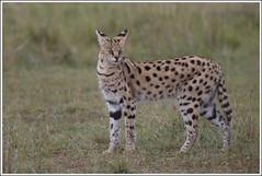 Serval (katachtige) (Martha de Jong-Lantink) Tags: kenya ngc kenia masaimara leptailurusserval maasaimara specanimal felisserval servalkat reizenmetjanvermeer