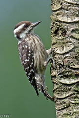 Sunda Pygmy Woodpecker (Andy_LYT) Tags: bird birds woodpecker ngc npc pygmy sunda allofnatureswildlifelevel1 allofnatureswildlifelevel2 allofnatureswildlifelevel3 allofnatureswildlifelevel4 allofnatureswildlifelevel5 allofnatureswildlifelevel8 allofnatureswildlifelevel6 allofnatureswildlifelevel7 allofnatureswildlifelevel9 allofnatureswildlifelevel10