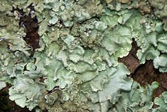 Foliose -Leaf Lichens (Annette Rumbelow) Tags: camera leaf sony lichens annette a100 foliose rumbelow