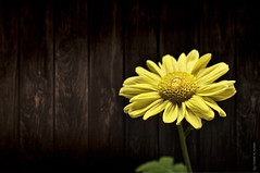 (Fahad Al-Robah) Tags: flower yellow