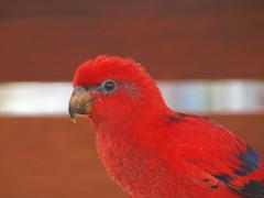 Eos Bornea 2011. Loro rojo. (Javier Garcia Alarcon) Tags: bird birds animal animals eos animales loro pjaro eosbornea bornea
