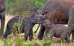 New Teat (Sara-D) Tags: nature animals fauna asia wildlife sl lanka elephants srilanka ceylon endangered lk mammals deva wildanimals southasia endangeredspecies sarad elephasmaximusmaximus saranga wildelephants elephantsplaying sarangadevadealwis sarangadeva elephantcalfs