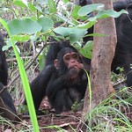"Baby Chimp <a style=""margin-left:10px; font-size:0.8em;"" href=""http://www.flickr.com/photos/14315427@N00/6505633007/"" target=""_blank"">@flickr</a>"