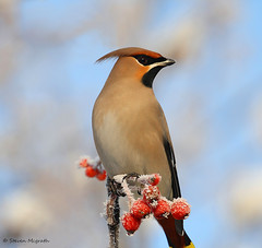 Waxwing (Bombycilla garrulus) (Glesgastef) Tags: uk winter bird nature scotland glasgow wildlife wing wax garrulus visitor waxwing migrant scandanavia bombycilla