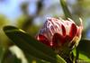 Protea caffra flower (Martin_Heigan) Tags: camera flower nature digital southafrica nikon dof martin bokeh photograph dslr za johannesburg protea gauteng suidafrika heigan caffra wsnbg december2011 d7000 mhsetproteas mhsetflowers potd:country=za