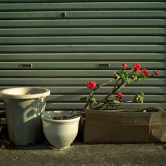 Trio One Life, Potted Garden (jacob schere [in the 03 strategically planning]) Tags: red urban white house plant flower home digital garden square long apartment blossom gardening jacob 4 communication plastic pot chiba shutter bloom flowering gr blossoming bud lucid planter iv ricoh potted budding tokyojapan blooming dwelling dwell shuttered m2c schere dgr mimomi jacobschere lucidcommunication