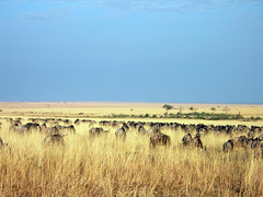 Gnu migration (rw260) Tags: kenya safari migration gnu masaimara