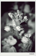Macro B&W (AmeliaPhotoAme©) Tags: hello family flowers cats white black hot flores cars love dogs broken sepia foot yahoo google amazon cross unitedstates cnn gmail dreams processing bloom msn ankle left healing arrangement facebook songlyrics whitepages twitter