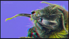Bumble Bee Head [anaglyph1080 ] (kiwizone) Tags: macro eye tongue closeup compound stereoscopic 3d olympus anaglyph bee stereo hd bumble 410 1080p glabra 55mmmicronikkor zerenestacker