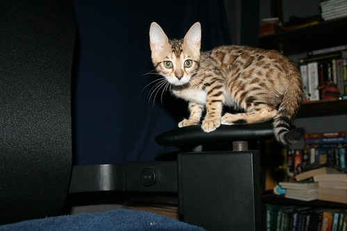Pixel, the bengal kitten