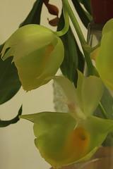 Catasetum pileatum Oro Verde 0008 (zet11) Tags: flowers orchid verde catasetum pileatum oro storczyki