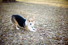 (348/358) (epine) Tags: life christmas snow me its minnesota canon pembroke photography photo corgi zoey day image time no 14 year like minneapolis days area be what 5d welsh bryant 50 pixels scannell epione