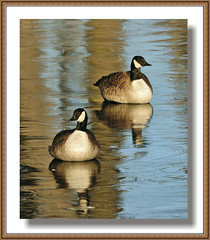An Image Of Winter (Vidterry) Tags: canadageese geeseonice aboveandbeyondlevel1 flickrstruereflection1 cedarlakeinwinter aboveandbeyondlevel2