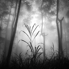 Rain Forest (Hengki Koentjoro) Tags: trees plants mist wet water rain silhouette fog forest trunks biodiversity