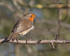 Robin (Stuart G Wright Photography) Tags: bird robin birds g wildlife stuart cannock chase wright staffs