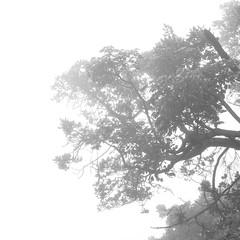 Misty I (sandrine L.) Tags: leica bw mist tree silhouette square costarica highkey m9 poas