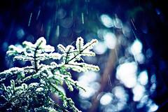 Happy New Year (moaan) Tags: life leica winter snow pinetree digital hope 50mm branch dof bokeh live f10 utata aomori noctilux snowfall 2012  m9 fallingsnow yagen explored inlife leicanoctilux50mmf10 liveinhope leicam9  gettyimagesjapan12q1