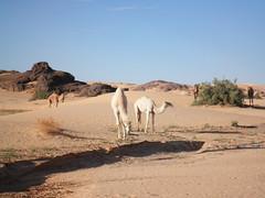 chameau en paturage (zargcheikh) Tags: djanet