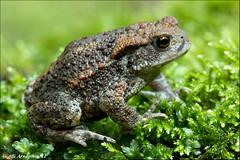 Bufo bufo III (Atlapix) Tags: nature animal closeup europe hungary wildlife amphibian toad bufo bufobufo anura commontoad europeantoad aggtelek atlapix europeancommontoad aggteleknationalpark
