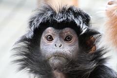 Haubenlangur - Trachypithecus auratus - Javan Lutung (StefanKoeder) Tags: germany deutschland zoo monkey stuttgart ape affe wilhelma trachypithecusauratus javanlutung haubenlangur flickrtreffen2012jan08