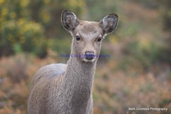 DSC00438 (Mark Coombes Photography) Tags: female deer dorset sika