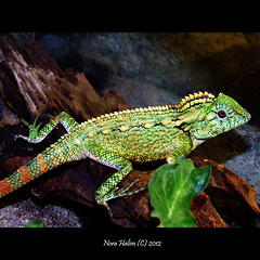 cute little green (nora2810) Tags: cute green nature animal comel lizard iguana cameleon binatang fujifilmfinepixs9500
