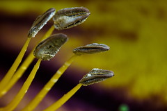 Hydra, 5 Heads 365 / 012 (Traveller_40) Tags: closeup dof depthoffield day12 180mm solandramaxima botmuc nachtschattengewächs macrolicious 3652012 soloncaceae goldkelch 365the2012edition 12012012