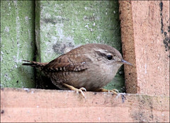 A step closer... (Judy's Wildlife Garden) Tags: wren astepcloser judykennett knightonpowys