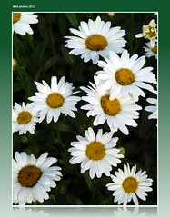 give without hesitation! (MEA Images) Tags: flowers nature gardens wisconsin daisies blossoms blooms florals doorcounty