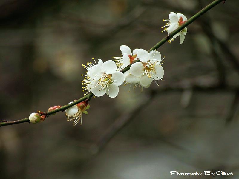 【梅花】桃園大溪.石門水庫(梅花初開)
