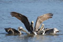 sharing with pelicans (Hector de Corazn) Tags: ocean life morning light sea wild bird birds sunrise canon photography eos dawn wildlife pelican 7d trinidad vulture mudflat whimbrel willet
