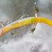 AHS 2006 Spring Field Trip / Dwarf Salamander