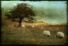 dolly (seve) Tags: england tree canon landscape 350d scenery imac sheep cumbria canon350d textured knott farleton stevegregory farletonknott 180550mm borderfx mygearandme applecrypt flickrstruereflection1 wwwflickrcomphotosapplecrypt