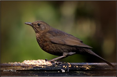 FEMALE BLACKBIRD (Shaun's Wildlife Images....) Tags: blackbird shaund