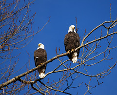 Married Eagles (Tjflex2) Tags: road canada tree nature beautiful birds outdoors couple pretty branch bc married wildlife pair sony side feathers perched mates eagles raptors pittlake autofocus bonded pittmeadows a birdperfect slta55v