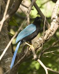 Adult Yucatan Jay (GaryKurtz) Tags: wildbirds playcar beautifulbird birdimages garykurtz beautifulbirds yucatanjay birdsofmexico birdsoftheyucatan garykurtzphotos floraofmexcio