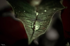 (AXEHD) Tags: new red flower macro green nature water beautiful beauty rain lens leaf zoom bokeh sony drop dslr aks     barg