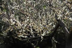 IMG_6026 (Sandor's Album) Tags: flowers flower blossom plum hsinchu taiwan       nationaltsinghuauniversity drmeimemorialgarden