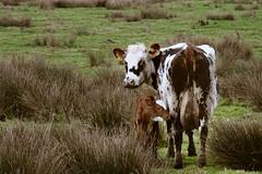 Vache et son veau au marais (2779) (Pascal Berger Photographie) Tags: france cow normandie marais normandy manche vache cotentin leplessislastelle