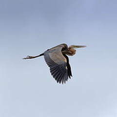 #850C9522- Slowly flying purple heron (crimsonbelt) Tags: heron birds flying purple wildlife waduk balikpapan manggar