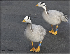 PAIR OF BAR-HEADED GEESE (Shaun's Wildlife Images....) Tags: birds geese ducks shaund