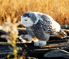 Snowy Owl: I am watching you! (TOTORORO.RORO) Tags: park sunset portrait canada bird nature lens mirror reflex bc wildlife sony watching stare translucent marsh boundarybay alpha 500mm f8 slt snowyowl mirrorlens greatervancouver a55 buboscandiacus sal500f80 birdperfect