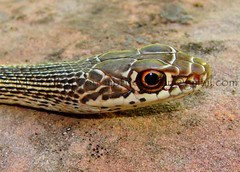 Whipsnake, Striped (Desert) - Iron, UT (zoom) 6-3-10 cropcol (Matt Jeppson) Tags: