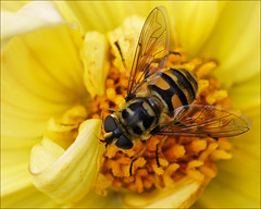 Skull Hoverfly (Foto Martien (thanks for over 2.000.000 views)) Tags: dahlia flower holland macro netherlands dutch insect europe nederland honey nectar pollen insekt veluwe bloem macrophoto gelderland honing harskamp zweefvlieg stuifmeel macrofoto myathropaflorea macroopname zorgboerderij a550 totenkopfschwebfliege doodshoofdzweefvlieg doodskopzweefvlieg europeanhoverfly zorginstelling ristaledesfleurs passiflorahoeve martienuiterweerd martienarnhem gemeinedoldenschwebfliege sonyalpha550 mygearandme mygearandmepremium minoltamacro100mm28mm mygearandmebronze mygearandmesilver mygearandmegold mygearandmeplatinum mygearandmediamond ringexcellence dblringexcellence fotomartien tplringexcellence mimicrymetdehoningbijapismellifera mimicrywithhoneybeeapismellifera syrphettedemort eltringexcellence